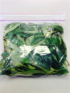 "Picture of Fresh Curry Leaf  (6""-  6"" Bag Packed)"